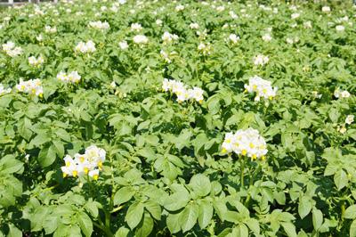 Цветущие посадки картофеля