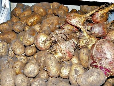 Хранение свеклы вместе с картофелем