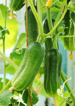 Как выращивать огурцы на подоконнике и на балконе