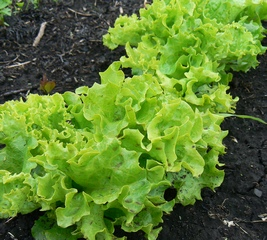 Как сажать под зиму салат из 944