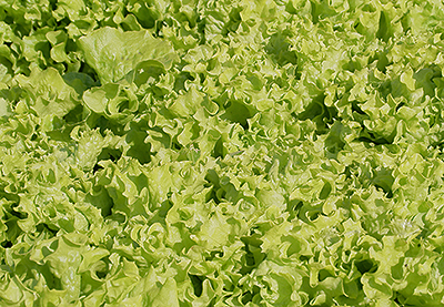 Как выращивать салат в открытом грунте