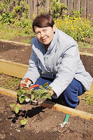 Посадка кустов садовой клубники