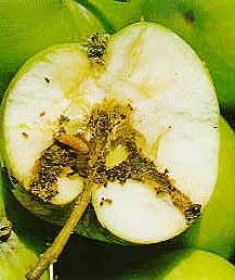 Яблоко, поврежденное яблонной плодожоркой