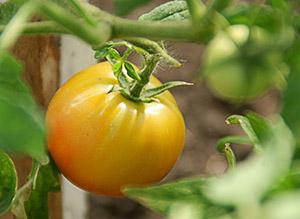 Почему не вызревают помидоры
