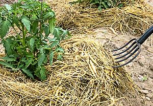 Мульча из соломы возле помидор