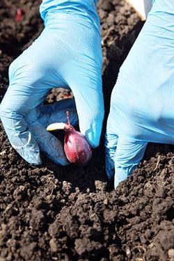 Для посадки лучше приобретать лук-севок