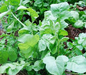 Как выращивать рукколу