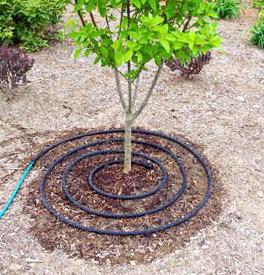 Шланг капельного полива вокруг дерева