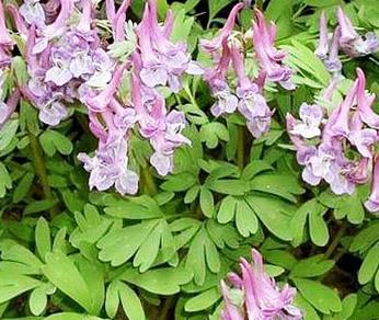 Цветы хохлатки в вашем саду
