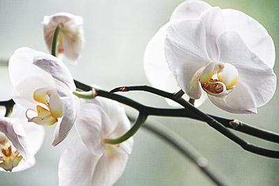 Советы по выращиванию орхидей дома