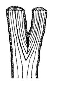 Развилка, идущая от ствола под острым углом