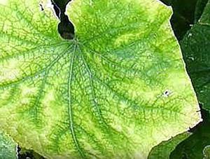 Пожелтение листьев у огурцов