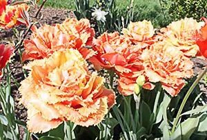 гибридные тюльпаны