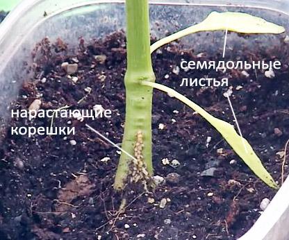 Заглублять стебель перца можно только до семядольных листов