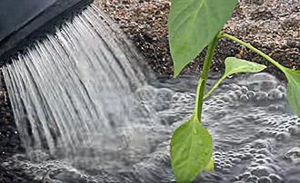 Свежевысаженную рассаду перца нужно обильно полить