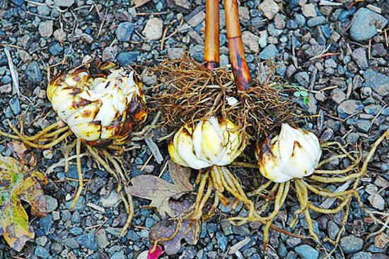 Луковицы лилии при пересадке осенью на другое место