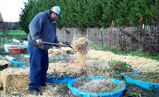 Часто огородники укрывают клубнику на зиму сеном или соломой