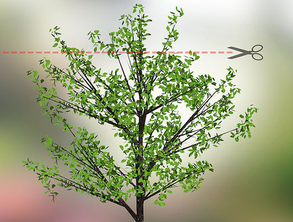 Ствол вишни обрезаем на высоте 2-3 метров