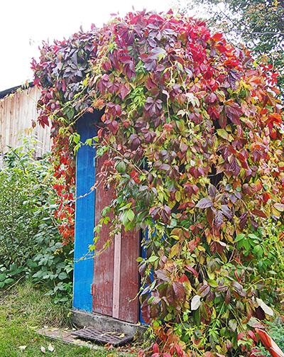 Лианы девичьего винограда, укрывшие дачный туалет
