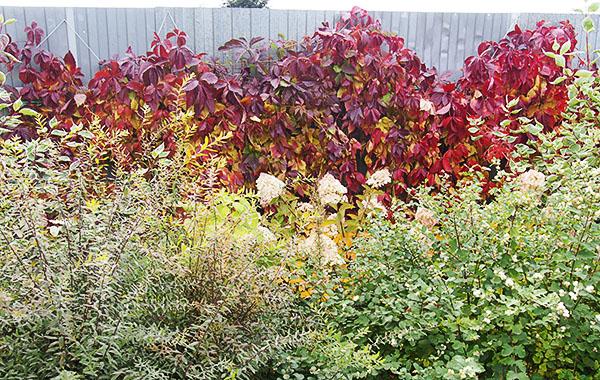 Девичий виноград, высаженный вдоль забора, и играющий роль фона для цветника