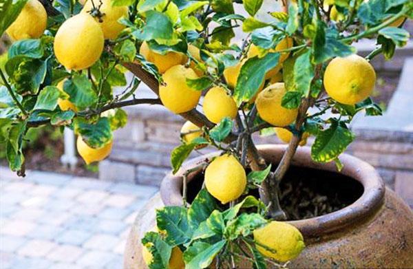 Лимон с плодами, выращенными в помещении
