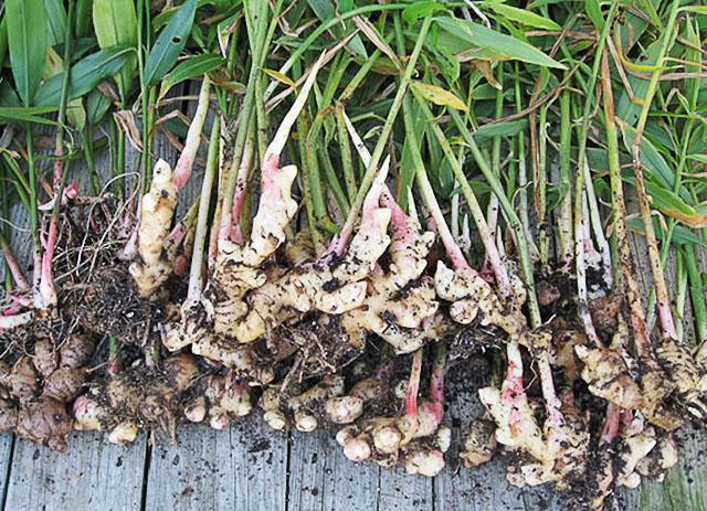 Урожай имбирного корня