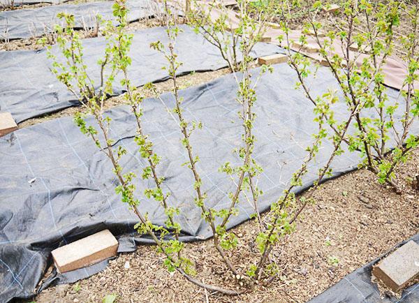 Куст черной смородины после осенней обрезки