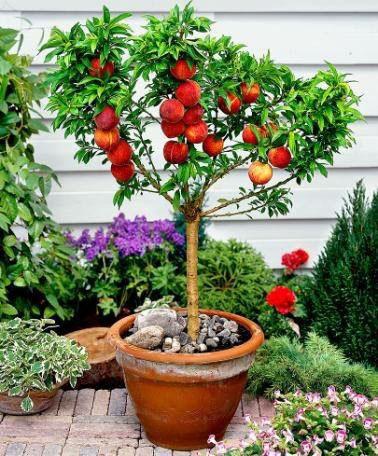 Нектариновое дерево с плодами