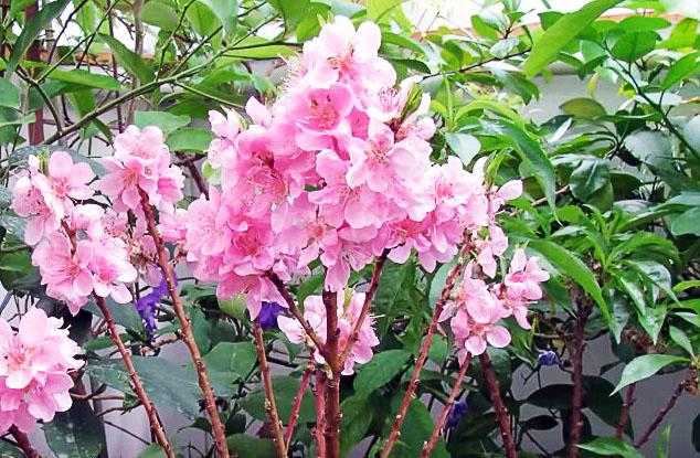 Цветущий нектарин