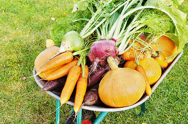 Садовая тачка полная собранного урожая овощей