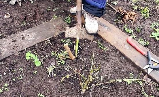 Садовод выкапывает георгины в саду