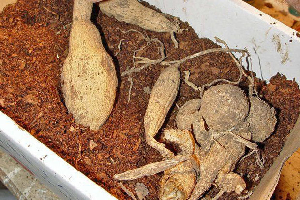 Корневища георгина лежат в коробке