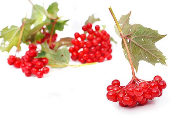Спелые ягоды калины для заготовок на зиму