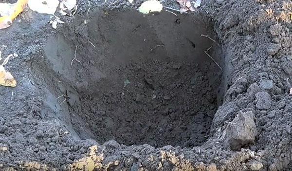 Посадочная яма для саженца черной смородины