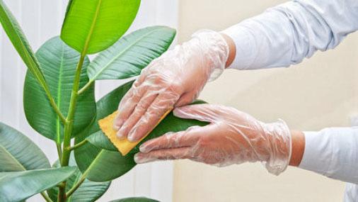Листья фикуса надо периодически протирать влажной тряпочкой