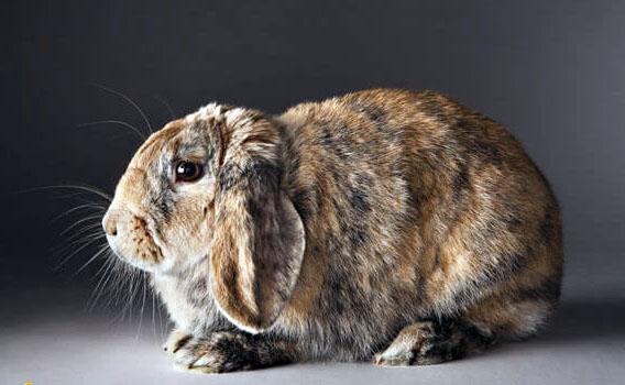 Кролик, заболевший цистицеркозом быстро слабеет и умирает