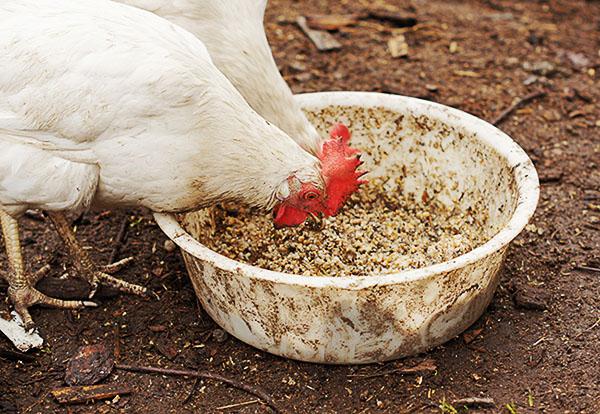 Курицы клюют мешанку