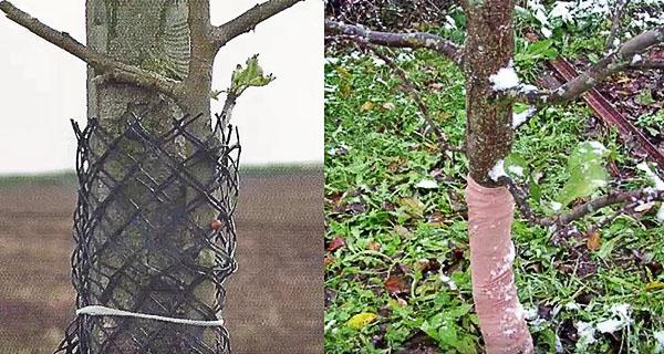Штамбы деревьев с защитой от мышей и зайцев