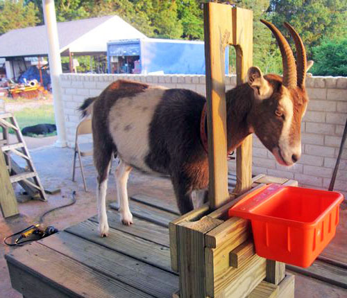 Станок для доения козы с фиксацией головы животного
