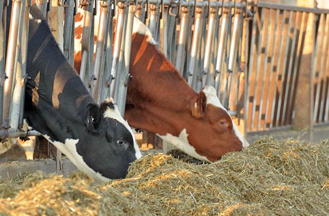 Кормление сухостойных коров