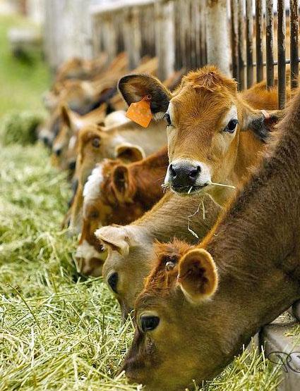 рацион при кормлении коровы