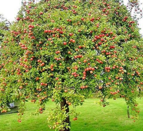 Яблоня с обильным урожаем яблок