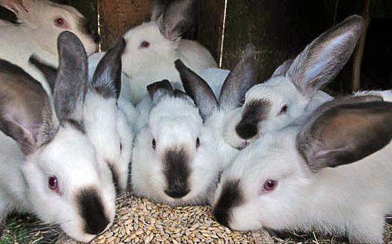 Кролики едят зерно
