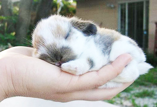 Маленький крольченок лежит на ладони