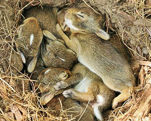 Слепые крольчата в гнезде