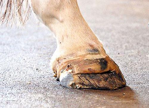Копыто лошади с заломами и трещинами