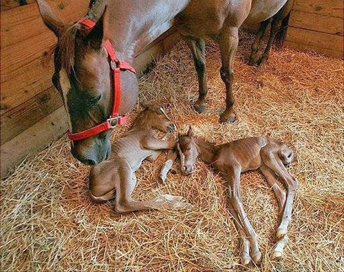 Кобыла после родов с жеребятами