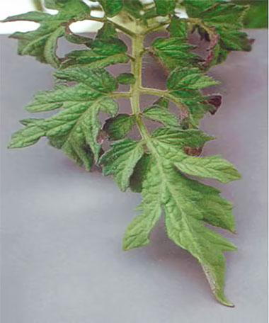 Симптомы нехватки растению фосфора