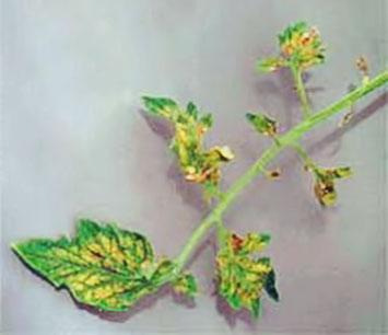 Симптомы нехватки растению хлора