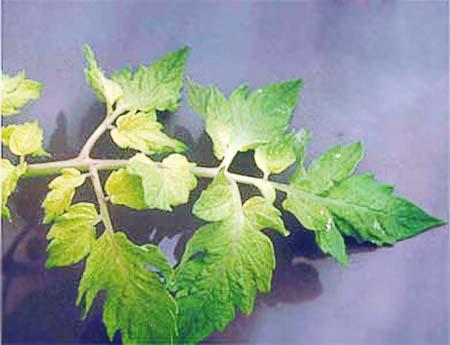 Симптомы нехватки растению железа